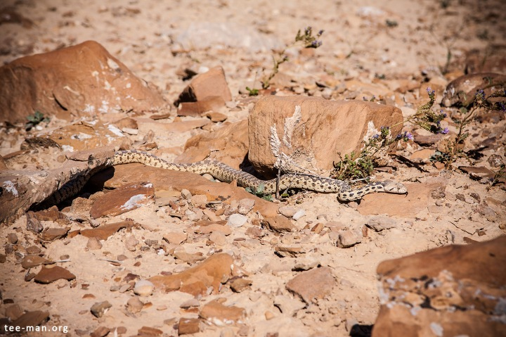 A Sonoran Gopher Snake, my first encounter with a living snake. Green River, 1.6.2014